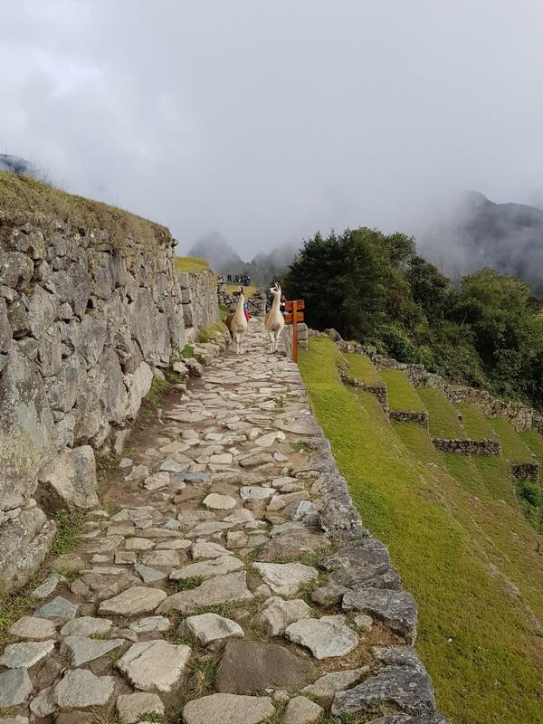 Lama's on the hiking path