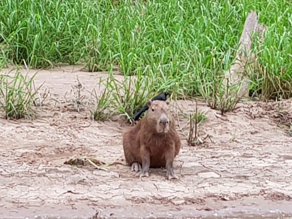 Big Capybara