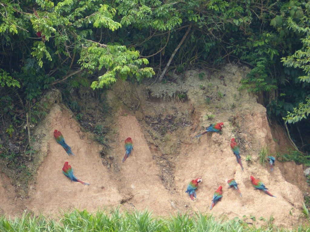 Macaws at lime cliffs