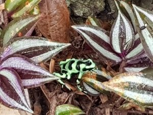 Poisoned-Dart Frog