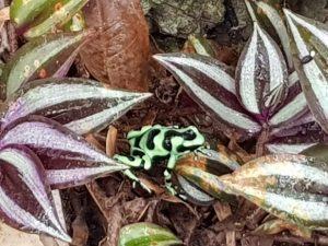 Poisoned-Dart Frog